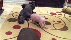 Mini Pig going crazy running in circles