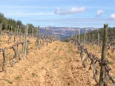 Spain's Priorat region is best known for intense reds, but there's also a tiny amount of white wine being made that deserves your attention. #priorat #spain #wine