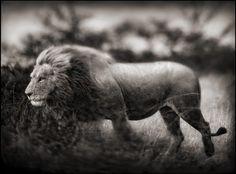 6f11b004516 Wildlife Photography By Nick Brandt