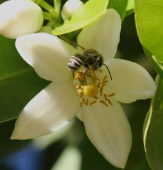 Native bee pollinating a citrus bloom