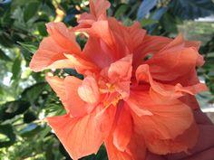 Beautiful hybiscus flower