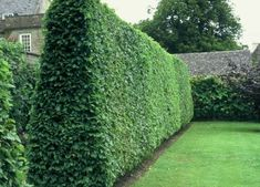 Backyard Garden With Tall Privet Hedges : Landscaping With Privet Hedge Plants