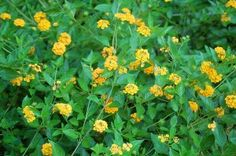 Lantana Pruning: How And When To Prune Lantana Bushes