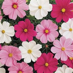 Cosmos are a very popular annual that is grown from flower seed. Cosmos seeds are large and easy to work with and easy to grow. Cosmos Flowers, Cut Flowers, Spring Flowers, Garden Seeds, Planting Seeds, Flower Seeds, Flower Pots, Potted Flowers, Bouquet Champetre