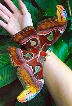 magnificence    papillon géant wonderful giant exotic butterfly nature animal insect