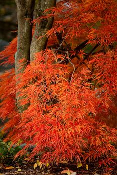 Japanese Maple In Autumn (sigh....why don't mine ever look like this?)