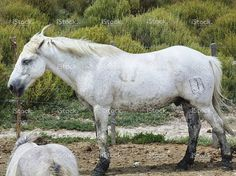Horses in Camargue, France stock photo 76760109 - iStock