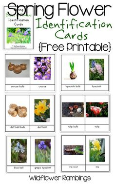 Spring Flower Bulb Identification Cards free printable from Wildflower Ramblings - Cindy's Gardens Spring Flowering Bulbs, Spring Bulbs, Earth Day Activities, Spring Activities, Toddler Activities, Flower Identification, Bulb Flowers, Rare Flowers, Exotic Flowers