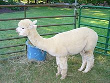 An alpaca is a domesticated species of South American camelid. It resembles a small llama in appearance. There are two breeds of alpaca; the Suri alpaca and the Huacaya alpaca. Farm Animals, Funny Animals, Llama Alpaca, Suri Alpaca, Types Of Farming, Bactrian Camel, Camelus, Kittens Cutest Baby, Diabetic Dog