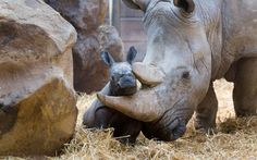 A baby rhino poses for the cameras in its enclosure at Allwetterzoo in Munster, Germany.  Picture: Imago / Barcroft Media