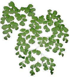 PLANTAS AVENCA. Planta do tipo feto, a avenca é conhecida desde os antigos tempos como planta das matas e foi muito cultivada em interiores.  As folhas são delicadas, compostas de pequenos segmentos e saem diretamente do rizoma. Este se desenvolve horizontalmente quase à superfície do solo.  A planta pode atingir entre 30 até 40 cm de altura, com muitas folhas e forma bastante irregular. NASCISO E WANDERLANIA