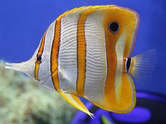 Taken at the Monterey Bay Aquarium at the tropical fish tank. Pretty Fish, Beautiful Fish, Saltwater Aquarium, Aquarium Fish, Saltwater Tank, Freshwater Aquarium, Underwater Creatures, Ocean Creatures, Beautiful Sea Creatures