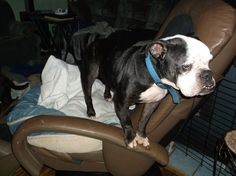 BO likes to get on the chair and jump over the gate to the kitchen.  He may be old, but he is a wild one.  LOL