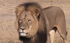 Demand Justice for Cecil the Lion's Killer