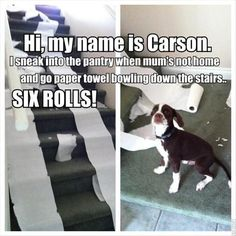 Unlike other dogs who love tearing paper towels to pieces, this doggy loves rolling them down the stairs!