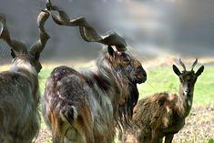 Ces 22 espèces disparaîtront probablement au cours de cette génération - Markhor (Himalaya)