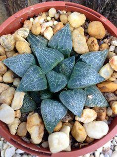 Haworthia pygmaea var. argenteomaculosa