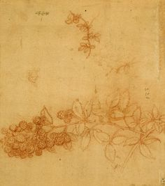 Leonardo da Vinci, 1452-1519, Italian, Blackberry and bird's-foot trefoil, c.1505-10. Red chalk on pale red prepared paper. Royal Collection Trust, Windsor. High Renaissance.
