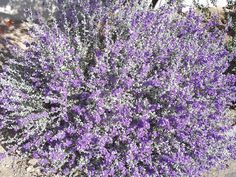 Texas Sage - This is a wonderful plant that not only adds a lot of purple to the landscape but also a neutral tone that goes well with a lot of other desert, southwest, and native plants. Texas sage can get quite large so it works well as a background, border, boundary, and specimen.