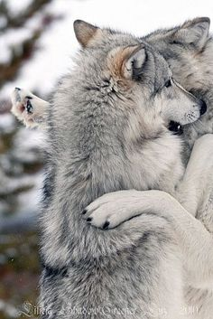 My wolf husky would greet me at the front door just like this, but never touch me, she wanted a kiss...