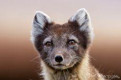 Arctic fox (Vulpes lagopus) by Mark Smith - Photo 5125983 / 500px