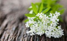 A bouquet of sweet woodruff | Foodal.com