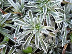 """Saxifraga paniculata """"Carniolica""""  A hardy, """"encrusted"""" type of Saxifrage forming neat, tight, rosettes of evergreen, dark-green, silvery edges, narrow leaves. 15cm high stems bear sprays of white flowers in April and May. Spread 15cm. Plants in well-drained soil in a sunny position"""