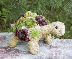 Our 14' baby turtle is part of our topiary critter collection. Turtles are planted with a variety of hardy succulents on a moss filled frame. All the plants are well rooted and will continue to fill out the shell. We use only hardy perennial succulents, so your turtle will live for many years and ar ...