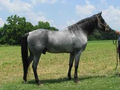 Senator's Blue Rain – A Blue Roan, 16 hand TWH stud. Senator is a great stallion with a calm disposition that is passed on to his foals and an easy keeper. Foals on site with the Stallion. Very easy to handle from ground or saddle. Same horse to ride all the time no matter how long it's been since his last ride. Located in Loretto Ky please call for any question 270-865-5022 or for more information. $4000 or best offer. Yes  standing this stallion but must call for pricing & ...