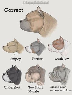 American Bully faults/conformation