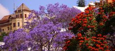 Jacaranda trees in Antananarivo. Beautiful.