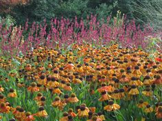 Helenium 'Sahin's early flowerer' and persicaria in the autumn border