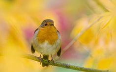 Acer Robin by Jacky Parker Floral Art, via Flickr