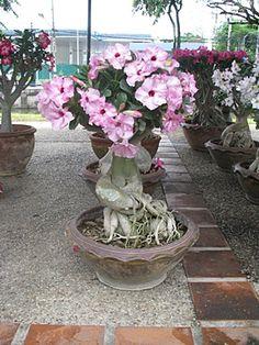 Image from http://www.chiangmai-mail.com/w021/pic2/f1-bonsai%201-13.JPG.