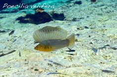 Poecilia velifera, the sailfin molly. These are gorgeous when they spread their dorsal fin! Tropical Freshwater Fish, Freshwater Aquarium Fish, Tropical Aquarium, Tropical Fish, Platy Fish, All Fish, Fish Care, Guppy, Fresh Water