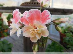 Annons på Tradera: Zonartic Elnaryds Sunset liten planta