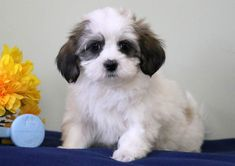 This Havanese puppy is a real sweetie pie who will quickly become your new best friend! Havanese Puppies For Sale, Havanese Dogs, Puppies Puppies, Havanese Full Grown, Havanese Haircuts, Snuggles, Creatures, Pets, Funny