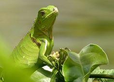 Groene Leguaan van vroegevogels