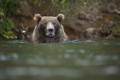 Allan Otto,Brown Bears,Grizzly,Josh Carter,Katmai,National Park,Paul Hassell,Wildlife, photo