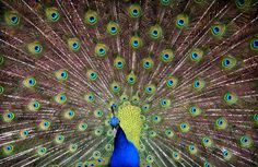 Fractals are purely a wonder – too irregular for Euclidean geometry; iterative and recursive and seemingly infinite. They turn up in food and germs, plants and animals, mountains and water and sky. Could a peacock be fabulously fractal?