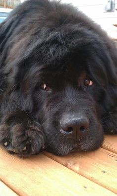 I don't want to move! Big Dogs, I Love Dogs, Dogs And Puppies, Cute Baby Animals, Animals And Pets, All Black Dog, Landseer Dog, Newfoundland Puppies, Beautiful Dogs