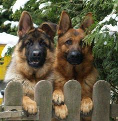 The German Shepherd is one of America's most popular dog breeds. Big Dogs, I Love Dogs, Cute Dogs, Dogs And Puppies, Doggies, Beautiful Dogs, Animals Beautiful, Cute Animals, Malinois
