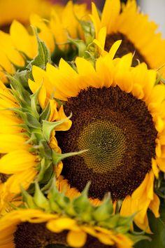 Sunflowers! New York Botanical Garden, NYC