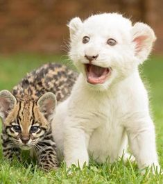 Baby Lion and Ocelot-I can't handle the cuteness!