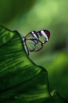 I LOVE these see through butterflies. I have seen them in real life and they are actually clear!! ♥