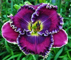 Day-lily: Hemerocallis 'Blue Racer' [Family: Xanthorrhoeaceae]