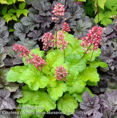 Mini heuchera (Coral Bells)! Lime foliage with contrasting two-toned pink flower spikes, 'Sweet Tart' is the perfect miniature heuchera!