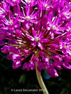 Allium Macro - I am already ready for spring!