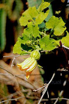 Sensuous2Spiritual: Pumpkin in a bush. Oh! so often on a village walk...