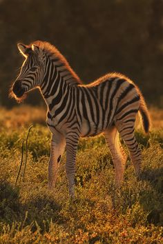 earthlynation:  Morning Zebra by Mario Moreno   A Zebra calf ( Equus quagga ) in warm morning light. Image taken in Addo Elephant National Park in South Africa's Eastern Cape.